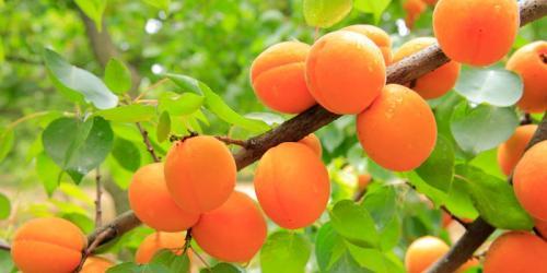 Польза абрикосов и вред. Польза и вред абрикосов для здоровья