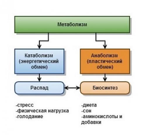 Особенности катаболизма и анаболизма. Взаимосвязь анаболизма и катаболизма