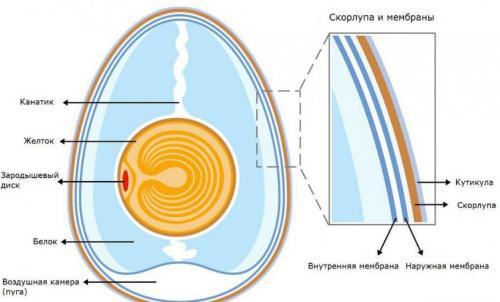 Куриные яйца состав. Куриные яйца. Их строение и химический состав