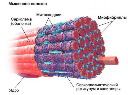 Тренировки гликолитических мышечных волокон. Классификация мышечных волокон.