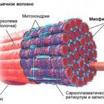 Классификация мышечных волокон.